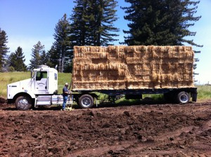 IMG 0858 300x224 Bales of Straw